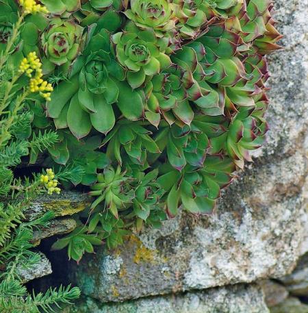 plantes murettes1
