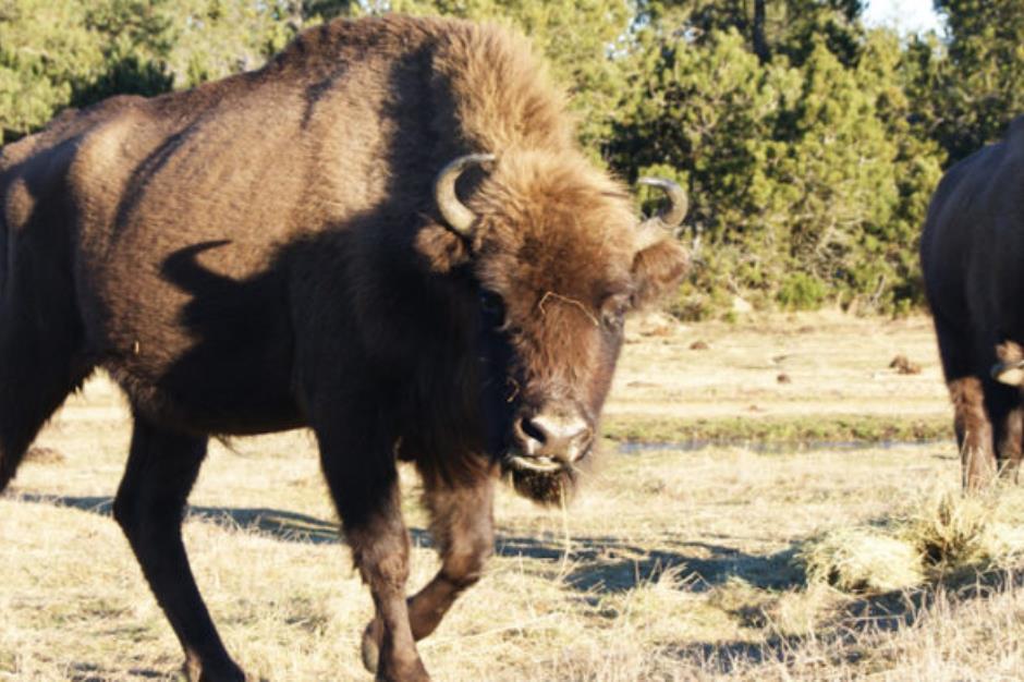 O Réserve des-bisons-d-Europe-à-45mn-